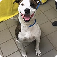 Adopt A Pet :: Molly - University Park, IL