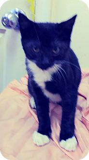 Domestic Shorthair Kitten for adoption in Trevose, Pennsylvania - Barrett