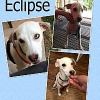 Adopt A Pet :: Eclipse - Hearne, TX