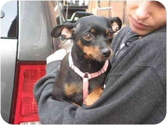 Miniature Pinscher Dog for adoption in Long Beach, New York - Molly