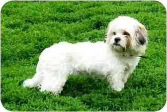 Lhasa Apso/Shih Tzu Mix Dog for adoption in Ile-Perrot, Quebec - Rita