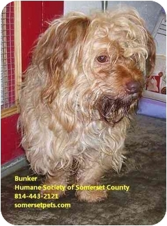 Skye Terrier Mix Dog for adoption in Somerset, Pennsylvania - Bunker