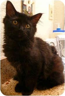 Domestic Mediumhair Kitten for adoption in Davis, California - Nova