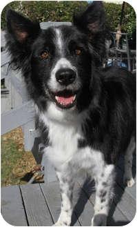 Border Collie Dog for adoption in San Pedro, California - JOCK