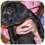 Photo 1 - Labrador Retriever Mix Puppy for adoption in Knoxvillle, Tennessee - Selma