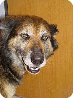 German Shepherd Dog Mix Dog for adoption in Lubbock, Texas - Sibil