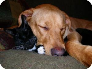 Labrador Retriever Mix Dog for adoption in Lebanon, Maine - Biscuit-URGENT (see Bella-URGE