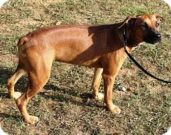 German Pinscher Mix Dog for adoption in Allentown, Pennsylvania - Red