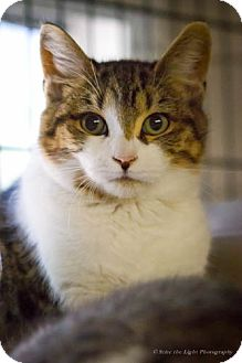 Domestic Shorthair Cat for adoption in Bulverde, Texas - Buddy