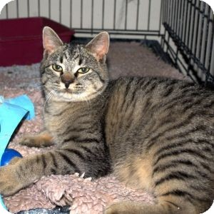 Domestic Shorthair Cat for adoption in Colorado Springs, Colorado - Niles
