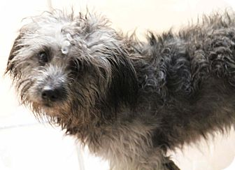 Poodle (Miniature)/Terrier (Unknown Type, Small) Mix Dog for adoption in Yuba City, California - Bear