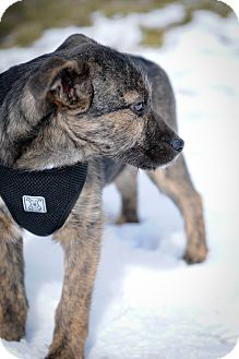 Terrier (Unknown Type, Medium) Mix Puppy for adoption in Mt. Prospect, Illinois - Hayes