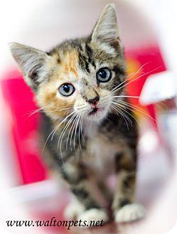 Domestic Shorthair Kitten for adoption in Monroe, Georgia - Shasta