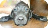 Labrador Retriever/Hound (Unknown Type) Mix Puppy for adoption in Lima, Pennsylvania - Neva