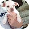 Chihuahua Mix Puppy for adoption in Marlton, New Jersey - Baby Sophie