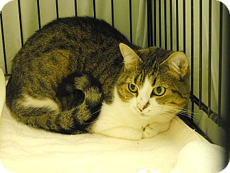 Domestic Shorthair Cat for adoption in Mission, British Columbia - Chowder