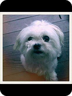 Maltese Dog for adoption in Albemarle, North Carolina - Sasha