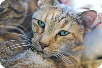 Domestic Shorthair Cat for adoption in Buffalo, Wyoming - Maddie