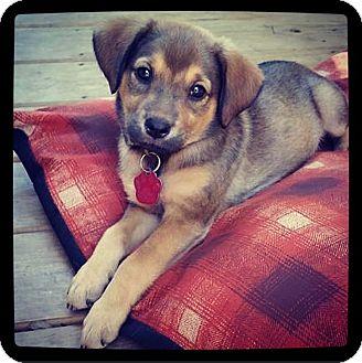 Labrador Retriever/Shepherd (Unknown Type) Mix Puppy for adoption in Grand Bay, Alabama - Arianna