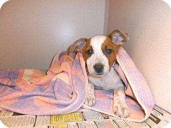 Blue Heeler Mix Puppy for adoption in Milton, New York - Kourtney