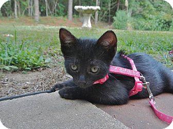 American Shorthair Kitten for adoption in DeRidder, Louisiana - Jeri