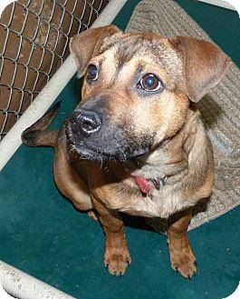 Shepherd (Unknown Type) Mix Puppy for adoption in Meadow Lake, Saskatchewan - Ramsey