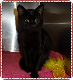 Domestic Shorthair Kitten for adoption in Marietta, Georgia - MOCHA - Available 1/16
