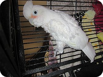 Cockatoo for adoption in Broadway, New Jersey - Gracie