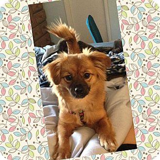 Pomeranian/Dachshund Mix Dog for adoption in Nashville, Tennessee - Bridgette