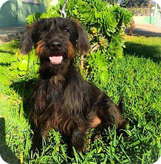 Scottie, Scottish Terrier/Schnauzer (Miniature) Mix Dog for adoption in La Jolla, California - Arcus