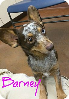 Corgi/Dachshund Mix Dog for adoption in Scottsdale, Arizona - Barney