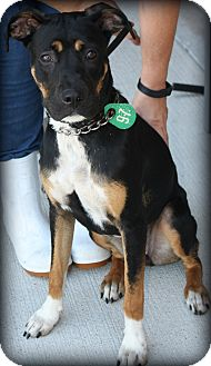 Rottweiler Mix Dog for adoption in Beaumont, Texas - Pipkin