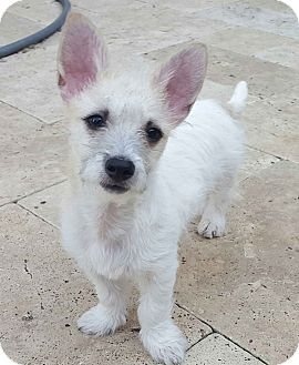 Terrier (Unknown Type, Small) Mix Puppy for adoption in Plano, Texas - JOEY - LOVING TERRIER PUPPY