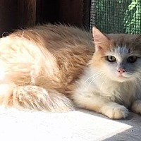 Domestic Mediumhair Cat for adoption in Trexlertown, Pennsylvania - Genevieve - Barn Cat