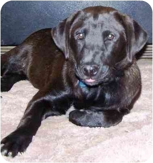 Labrador Retriever/Beagle Mix Puppy for adoption in Pittsboro/Durham, North Carolina - Snuggles