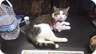 Domestic Shorthair Cat for adoption in Exton, Pennsylvania - George