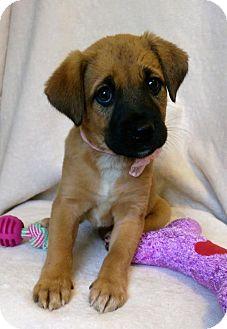 Boxer/Labrador Retriever Mix Puppy for adoption in Newark, Delaware - Brit