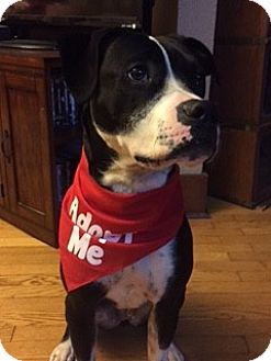 American Staffordshire Terrier Mix Dog for adoption in Davenport, Iowa - Shadow