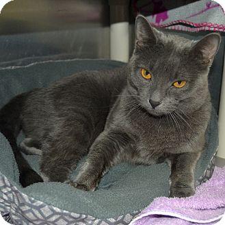 Domestic Shorthair Cat for adoption in Wheaton, Illinois - Felicity