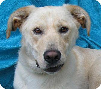 Labrador Retriever/Poodle (Standard) Mix Dog for adoption in Cuba, New York - Scott Scott