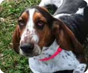 Basset Hound Dog for adoption in Charleston, South Carolina - Dixie Belle