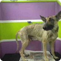 Adopt A Pet :: ROSE - Houston, TX