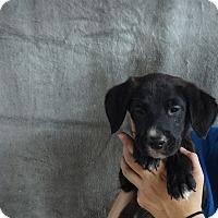 Adopt A Pet :: Mokie - Oviedo, FL