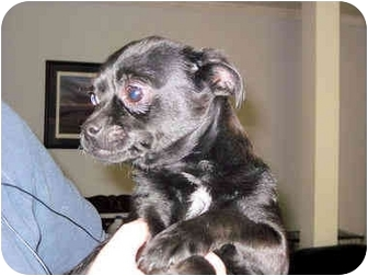 Boston Terrier/Chihuahua Mix Puppy for adoption in Mahwah, New Jersey - Drizzle