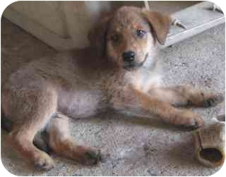 Shepherd (Unknown Type)/Collie Mix Puppy for adoption in Pine Bluff, Arkansas - Mo