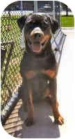 Rottweiler Dog for adoption in Oswego, Illinois - TOBY