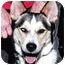 Photo 1 - Siberian Husky Dog for adoption in Carbondale, Colorado - Romeo