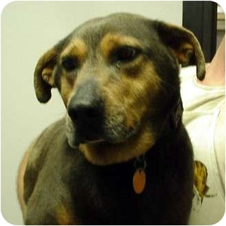 Doberman Pinscher/German Shepherd Dog Mix Dog for adoption in Manassas, Virginia - daisy