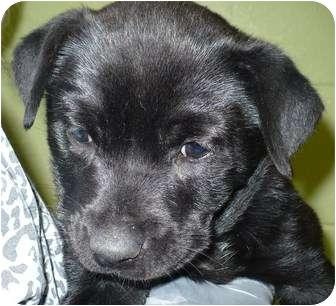 Rottweiler/Labrador Retriever Mix Puppy for adoption in Eastpoint, Florida - Selma