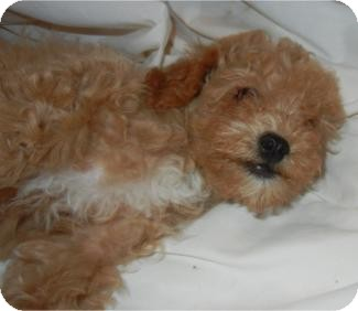 Poodle (Miniature) Puppy for adoption in Antioch, Illinois - Pryce